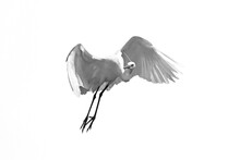 Little Egret / Seidenreiher (h...