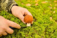 Mushroom Picker Man Is Cutting...