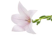 Pink Flower Of Platycodon Gran...