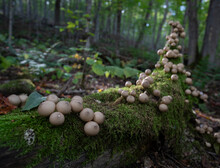 Puffball Mushrooms Lining A Mossy Log In The Forest