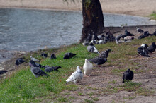 Pigeons At The City. Kiev
