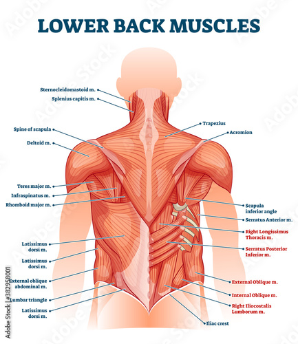 Obraz Lower back muscles labeled educational anatomical scheme vector illustration - fototapety do salonu