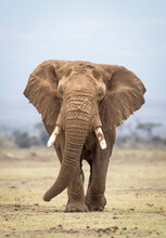 Vertical Portrait Of A Large Elephant Bull Walking Towards Camera In Amboseli National Park In Kenya