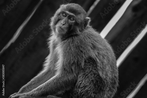 Papel de parede Black and white portrait of a monkey
