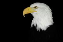 Portrait Of An Eagle N A Black...