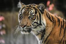 Portrait Young Sumatran Tiger