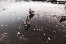 Wild Ducks Stand On The River ...