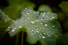 The Raindrops And The Leaf
