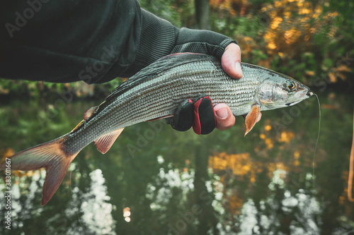 Fotomural Grayling caught on the fly in a forest stream.