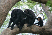 Eastern Chimpanzee (Pan Troglo...