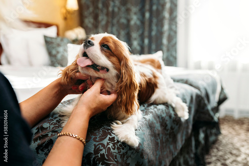 Fotografie, Obraz Cavalier King Charles Spaniel dog indoors resting in the bed and being petted by