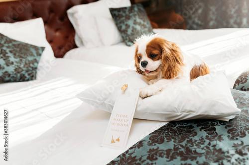 Fotografie, Obraz Cavalier King Charles Spaniel dog indoors resting in the chair