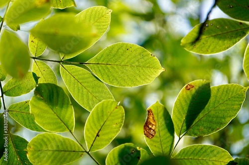 Plakaty zielone  green-tree-leaves-in-autumn-season-green-background