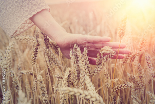 Fototapeta Female hand over wheat field obraz