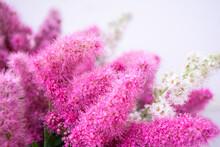 Pink Spirea Flowers On Bush. S...