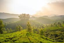 Tea Plantations In Munnar, Ker...