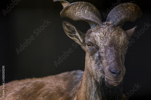 Obraz na plátně Helix goat portrait in the park