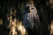Barn Owl Portrait In The Park