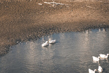 Geese Swim In The Autumn In Th...
