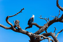 Bald Eagle Perched On A Thick ...