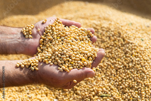 Fototapeta Ripe soya bean seed in hands of farmer obraz