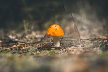 Amanita Muscaria Fly Mushroom