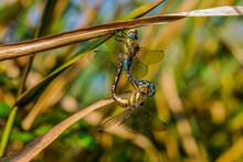 Hairy Dragonflies - Brachytron...