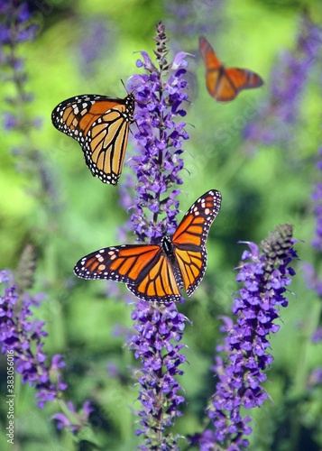 Fototapeta monarch butterfly on flower