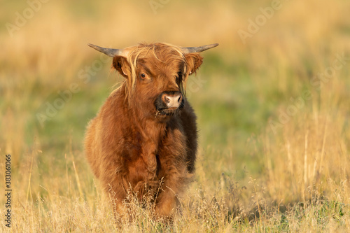 Foto The highland cow