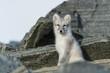 canvas print picture - Artic Fox