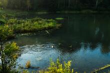 Wild Ducks On A Pond At Summer...