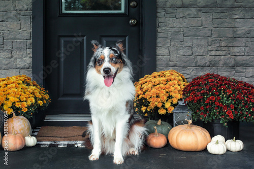 Beautiful happy juvenile male Blue Merle Australian Shepherd dog sitting on a front porch decorated with mums and pumpkins for Thanksgiving Day.