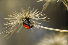 Closeup Upside Down Red Ladybu...