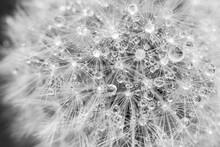 Dandelion Head Seed