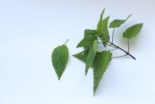 Photo Of A Plant Nettle. Nettl...
