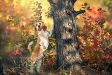 Beagle In Orange Fall Park