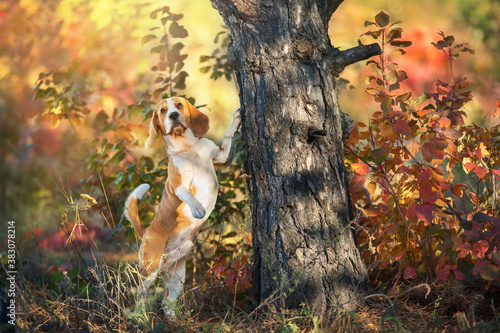 Beagle in orange fall park