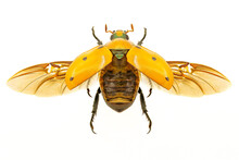 Grapevine Beetle On White Background