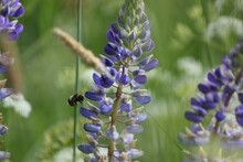 Lupins And A Bee