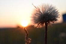Thistle In Sunset