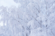 Birch Tree Top Covered In Snow
