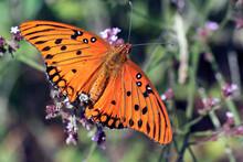 Macro Bright Orange And Black Gulf Fritillary Butterfly Agraulis Vanillae On Wildflower With Dark Background On Sunny Day