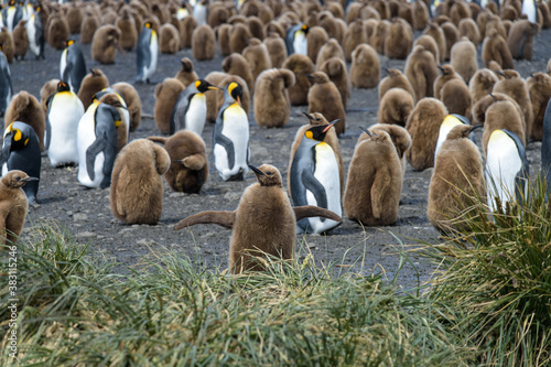 Fototapety, obrazy: Juvenile King Penguins with adults on Salisbury Plain in South Georgia Islands