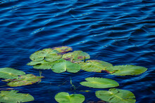 Moving Lake Water Ripples And Floating Lily Pads Near Oak Grove, Michigan, USA In September