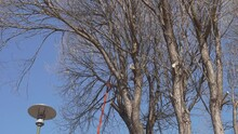 Large Willow Tree Branch Saws With Orange Pole Saw, Close Up Video. Sunny Spring Day, Soon Leaves Will Hatch