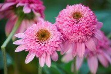 Purpurea Echinacea Pink Double Delight With A Green Blurred Background