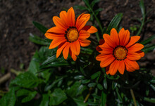 Two Bright Orange Red Gazania ...
