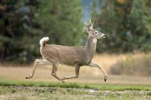 Deer Runs In A Park.