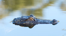 An American Alligator In A Pon...