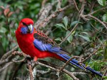 Crimson Rosella (Platycercus Elegans) - Native To Eastern & Southern Australia - Lamington National Park, QLD, Australia